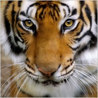 tiger_avatar_03_hd_pictures_169017