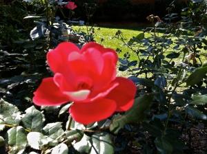 Last roses of 2013